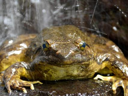 The goliath frog is normally found in and near fast-flowing rivers with sandy bottoms in the Middle African countries of Cameroon and Equatorial Guinea.