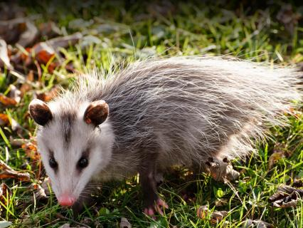 Opposum walking on green grass that is covered with fallen Autumn leaves.