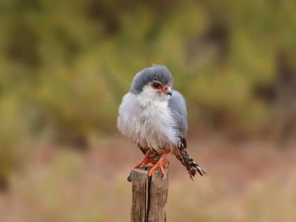 Pygmy falcon perched on a wood pole.