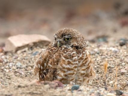 Burrowing owl popped out of its burrow.
