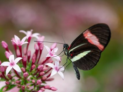 Butterfly sitting on a cluster of pink pentas flowers.