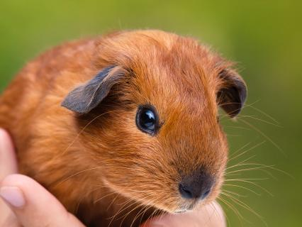 Guinea pig held in a child's hand.