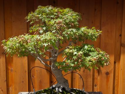 Bonsai maple at the San Diego Zoo Safari Park.