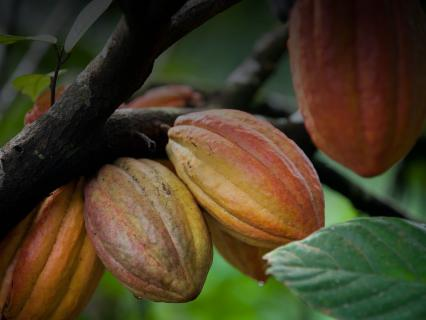 Cacao pods growing on a tree.
