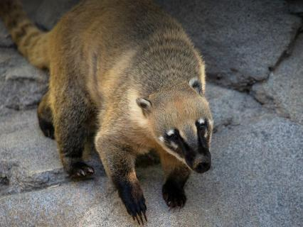 Coati climbing down a rock boulder.