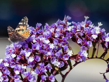 Sea lavender with small butterfly.