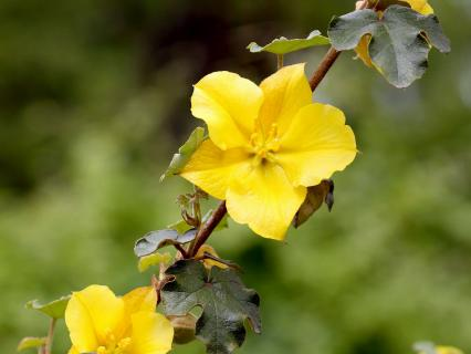 California flannelbush