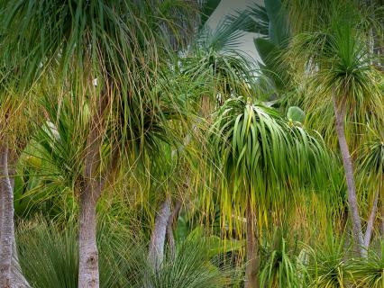 Ponytail palm trees