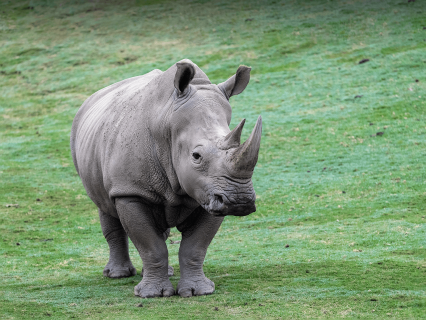 A southern white rhino stands in a grass field and looks slightly to the right.