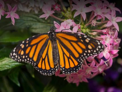 A monarch butterfly rests on a pink flower and spreads its wings.