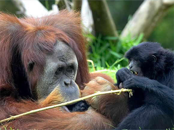 An orangutan and siamang are face to face.