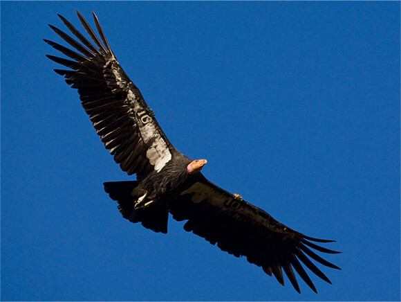 California condor in flight seen from below with background of blue sky.