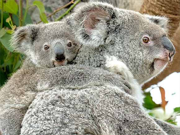koala mom with joey riding on her back