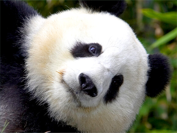 close up of giant panda face