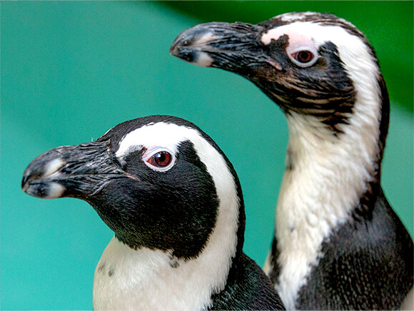 close up of two African penguins