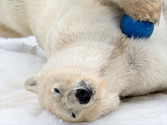 polar bear rolling in the snow holding a blue ball.