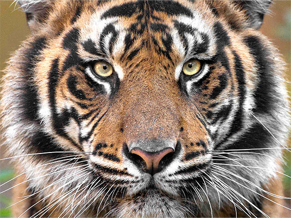 CLose of of tiger face